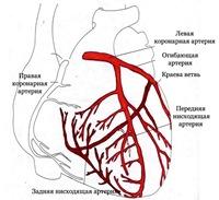 Кровоснабжение мышцы сердца