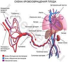 Схема кровообращения плода